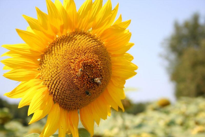 sun flouwer