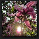 Sun through magnolia