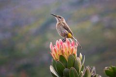 Sunbird auf Königsprotea