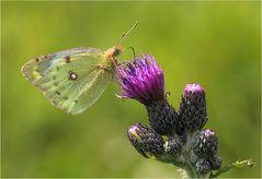 Sunbutterfly