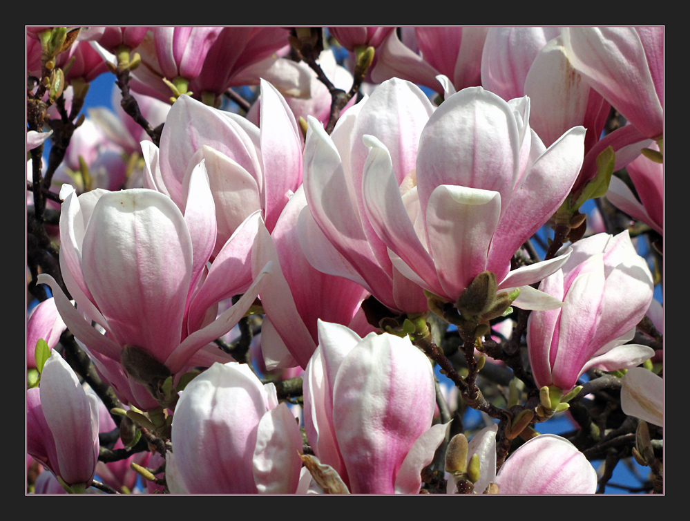 Sunday Magnolia