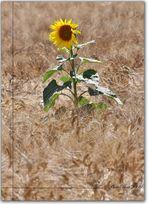 Sunflower #1.....