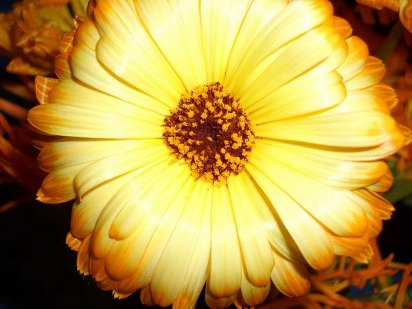 ..SUNflower..