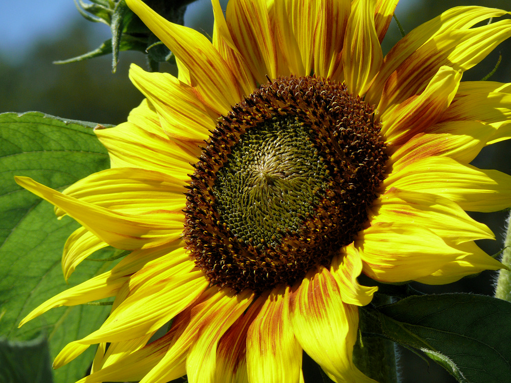 Sunflower in late July