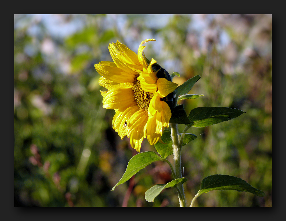 Sunflower in the morning dew
