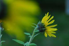 sunflower pur