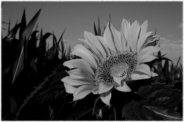 sunflower_0001