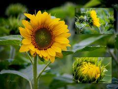 Sunflower....da kommt die Sonne von alleine