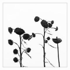 _sunflowers