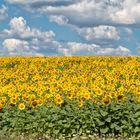 Sunflowers-Chmelnik