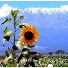 Sunflowers - Girasoli