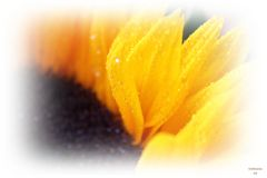 Sunflowers so soft