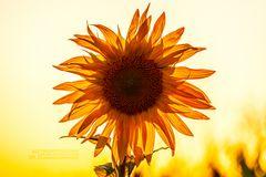 Sunlight Flooded Sunflower