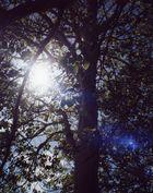 sunlight through an aspen