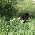 Sunny der Appenzeller - Sennenhund Mischling