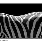 Sunny Site Of Zebra *reloaded*