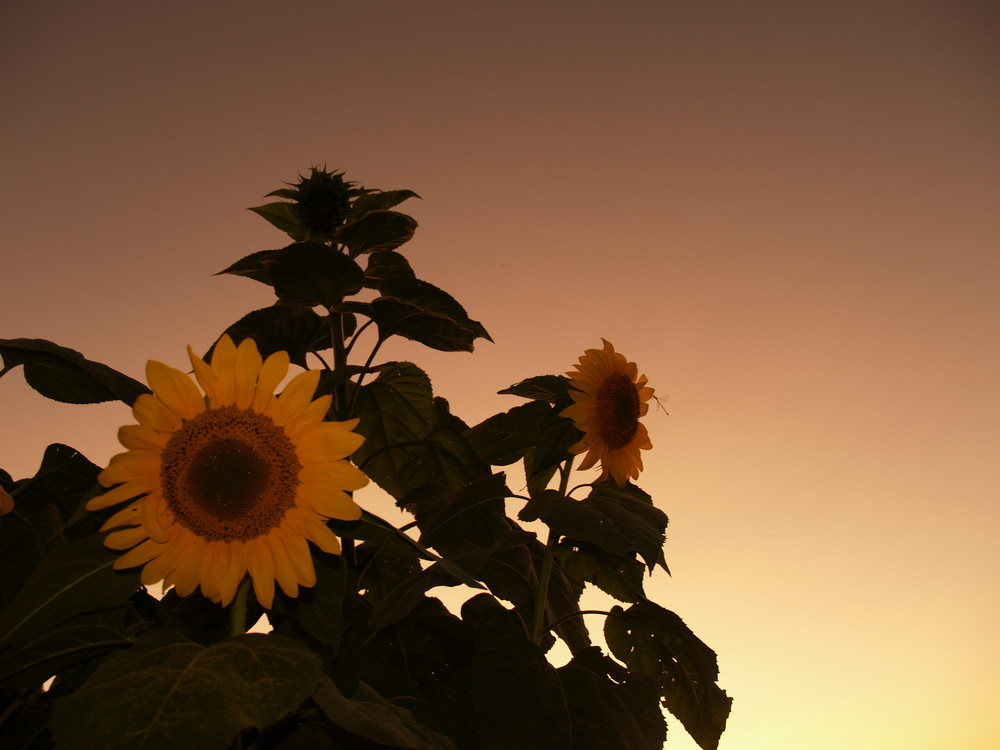 Sunset-Flower 2