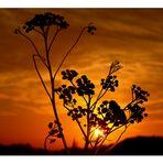 | sunset flower |