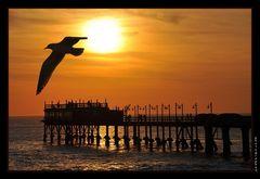 Sunset Seagul