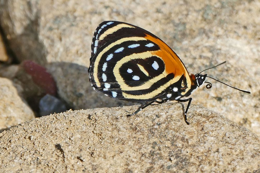 Superb Numberwing / Callicore excelsior
