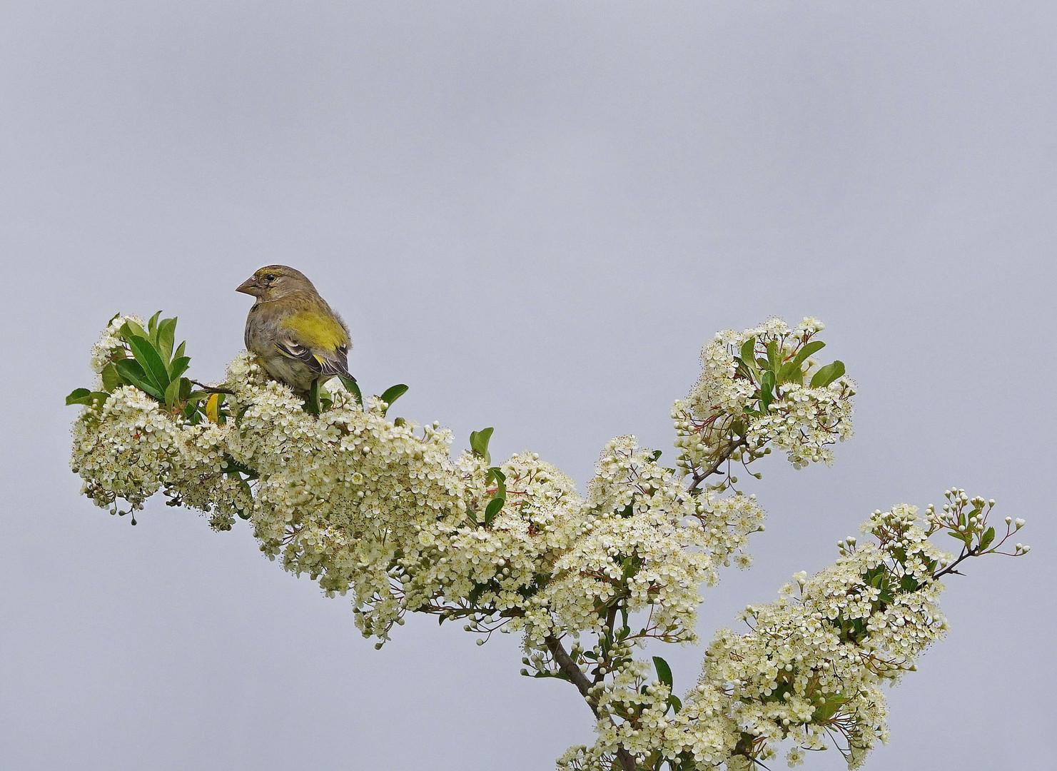 Sur la branche fleurie.... le verdier