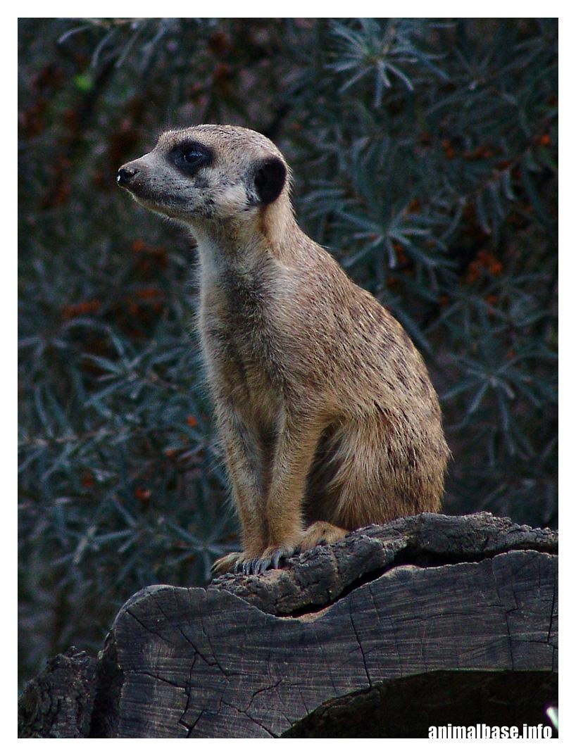 Suricata suricatta - Erdmännchen V