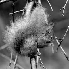 s/w-Freitag: Eichhörnchen