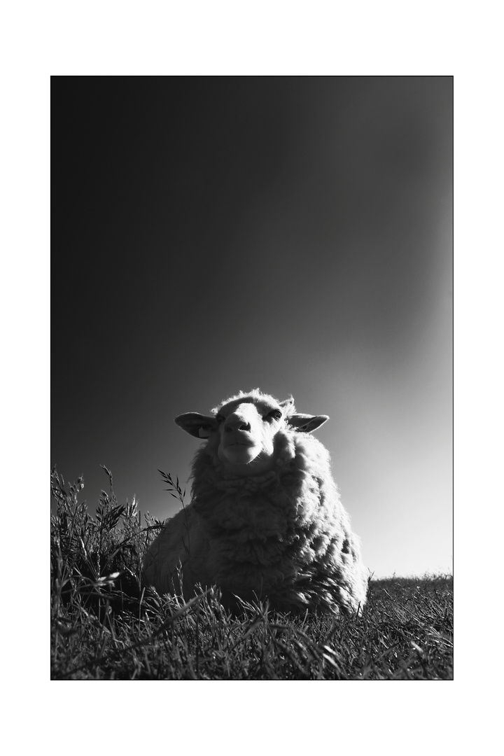 SW Sheep