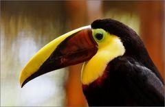 swainson-tukan / chestnut-mandibled toucan / ramphastos swainsonii (56 cm)