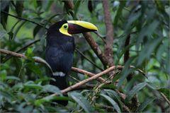 swainson-tukan /chestnut-mandibled toucan / ramphastos swainsonii (56 cm)