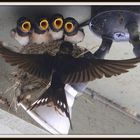 """Swallows Feeding"""