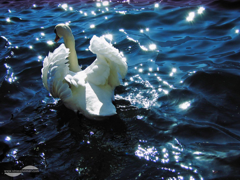 ** Swan **