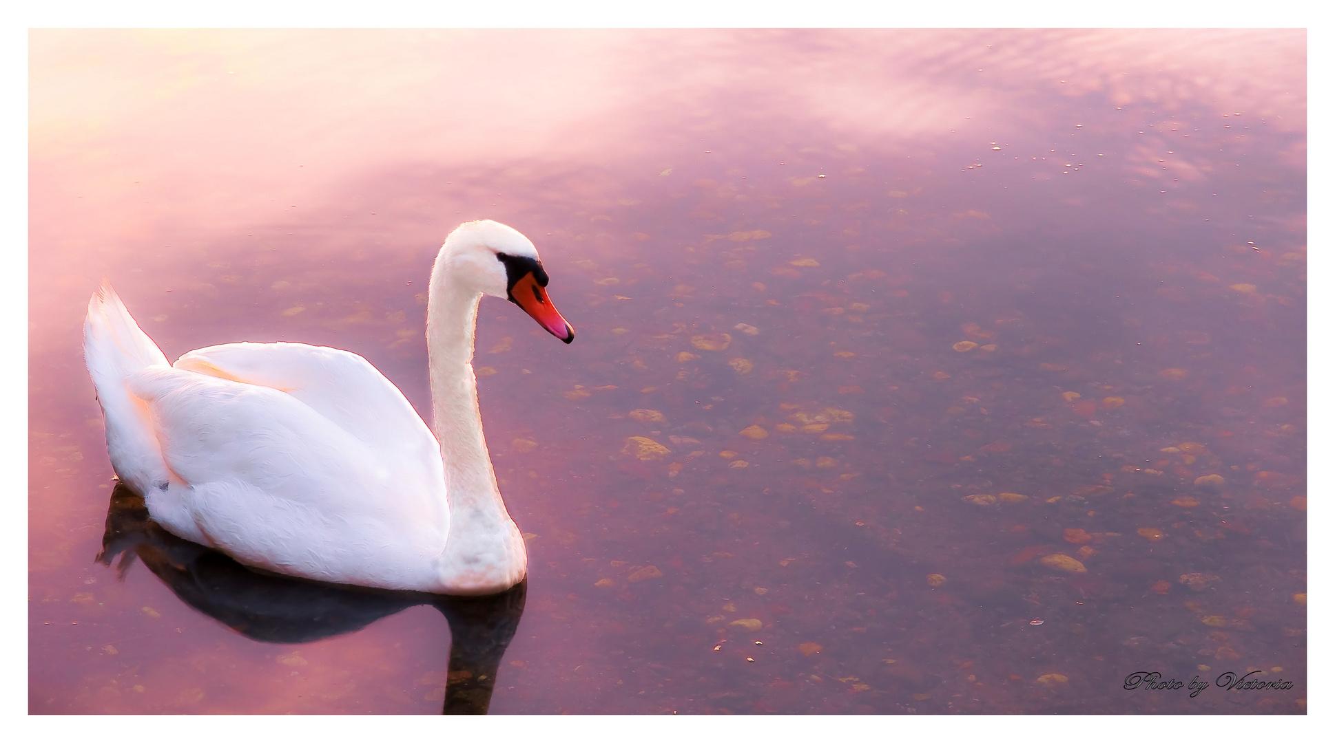 swan at dusk