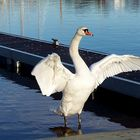 swan (Caledonial Canal) 28/01/2009