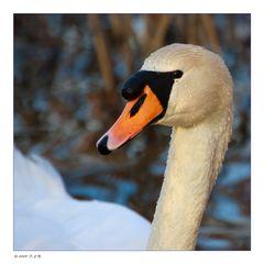 *Swan*