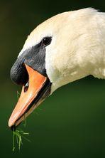 swan impression 2