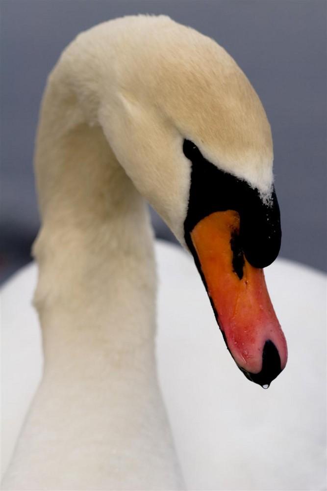 Swan in the winter