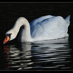 Swan on Lake Wichel - Switzerland