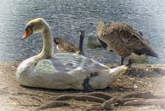 Swan relaxing