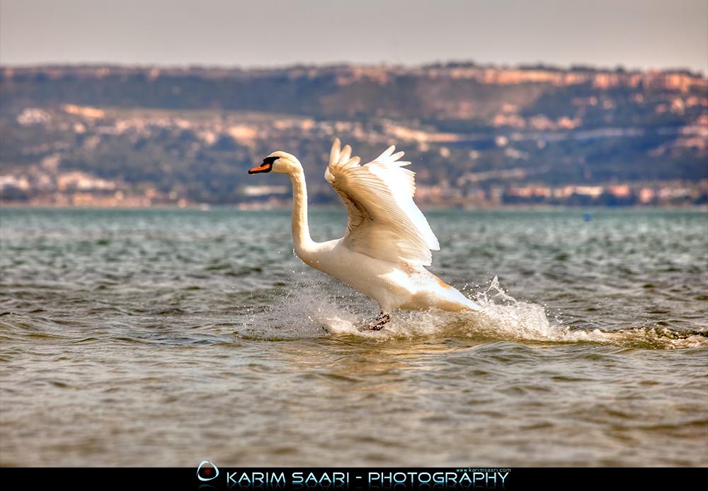 Swan Surfing