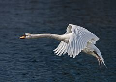 swanfly