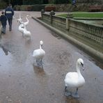Swans on Patrol