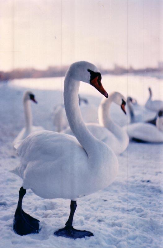 Swansong.