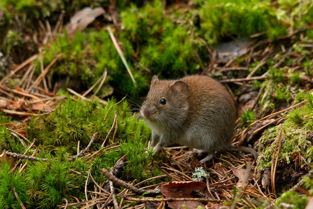 Sweet field-mouse