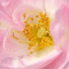 """""""Sweet Roses I"""" Reload"""