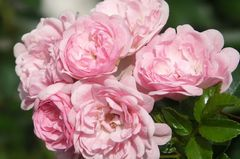"""Sweet Roses III"""