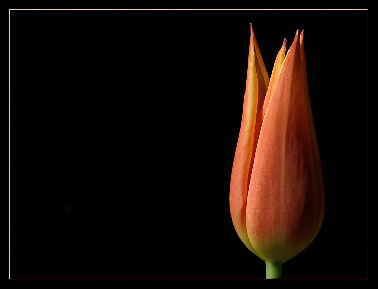 sweet tulip