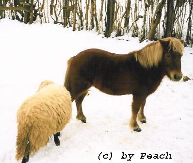 Sweety mit einem Schaf im Winter auf der Koppel