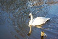 Swim swan swim!