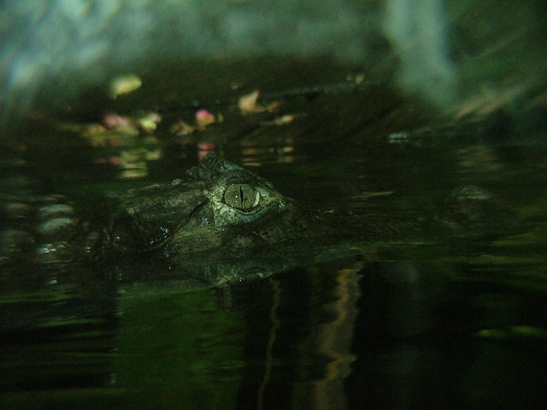 swimming with crocodile